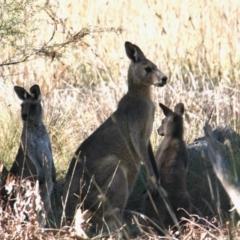 Macropus giganteus (Eastern Grey Kangaroo) at Vaughn Road Reserve - 25 Apr 2021 by PaulF