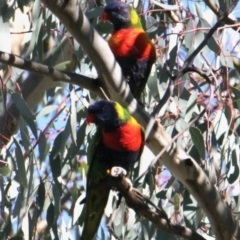 Trichoglossus moluccanus (Rainbow Lorikeet) at Vaughn Road Reserve - 25 Apr 2021 by PaulF