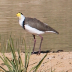 Vanellus miles (Masked Lapwing) at Albury - 25 Apr 2021 by PaulF