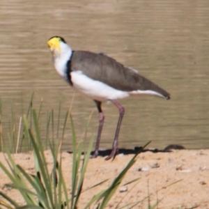 Vanellus miles at Albury - 25 Apr 2021