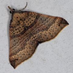 Anachloris uncinata at Deua National Park (CNM area) - 16 Apr 2021