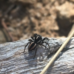 Jotus frosti (Frost's jumping spider) at Tennent, ACT - 25 Apr 2021 by Ned_Johnston