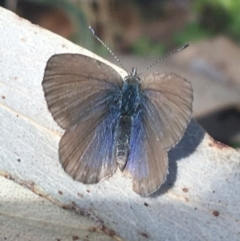 Zizina otis (Common Grass-blue) at Tennent, ACT - 25 Apr 2021 by Ned_Johnston