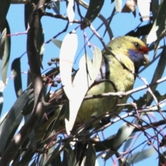 Platycercus elegans flaveolus (Yellow Rosella) at Bishops Walk Reserve - 25 Apr 2021 by PaulF
