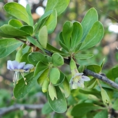 Lycium ferocissimum (African Boxthorn) at Jerrabomberra, ACT - 25 Apr 2021 by Mike