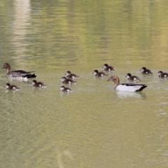 Chenonetta jubata (Australian Wood Duck) at Isabella Pond - 25 Apr 2021 by RodDeb