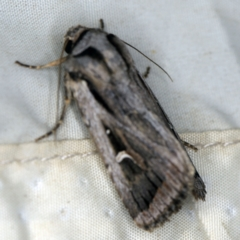 Proteuxoa undescribed species near paragypsa (A Noctuid moth) at Deua National Park (CNM area) - 16 Apr 2021 by ibaird