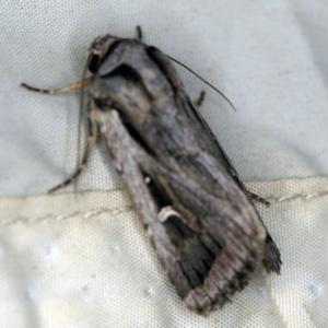 Proteuxoa undescribed species near paragypsa at Deua National Park (CNM area) - 16 Apr 2021
