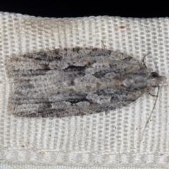 Acropolitis ergophora at Deua National Park (CNM area) - 16 Apr 2021