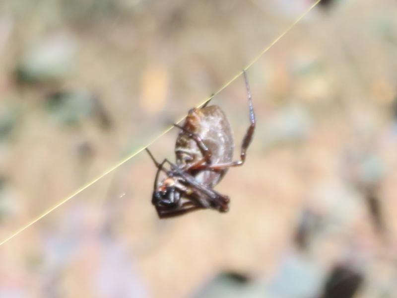 Nephila edulis at Callum Brae - 23 Apr 2021