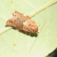 Epiphyas postvittana (Light Brown Apple Moth) at Flynn, ACT - 25 Apr 2021 by Christine