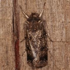 Agrotis porphyricollis (Variable Cutworm) at Melba, ACT - 23 Apr 2021 by kasiaaus