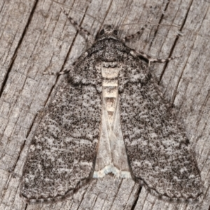 Smyriodes undescribed species nr aplectaria at Melba, ACT - 23 Apr 2021