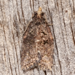 Capua intractana (A Tortricid moth) at Melba, ACT - 23 Apr 2021 by kasiaaus