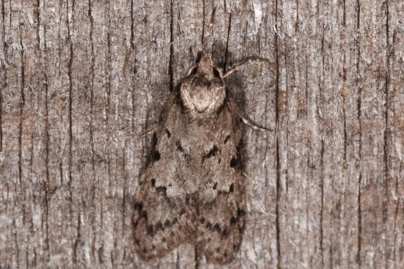 Palimmeces undescribed species nr hemiphanes at Melba, ACT - 23 Apr 2021