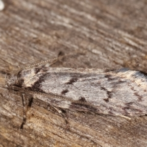 Palimmeces undescribed species nr hemiphanes at Melba, ACT - 23 Apr 2021