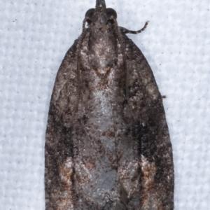 Thrincophora inconcisana at Melba, ACT - 23 Apr 2021