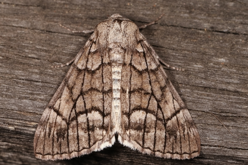 Stibaroma undescribed species at Melba, ACT - 23 Apr 2021