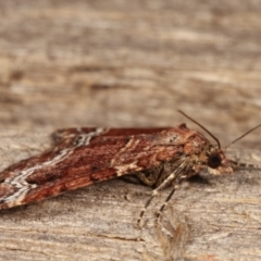 Chrysolarentia euphileta at Melba, ACT - 24 Apr 2021