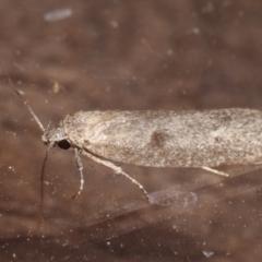Oenochroa and Artiastis (genera) at Melba, ACT - 25 Apr 2021