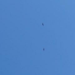 Aquila audax (Wedge-tailed Eagle) at Isabella Plains, ACT - 17 Apr 2021 by Kym