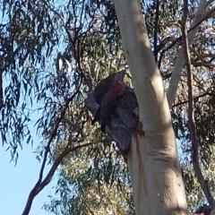 Callocephalon fimbriatum (Gang-gang Cockatoo) at Mount Ainslie - 24 Apr 2021 by Kym