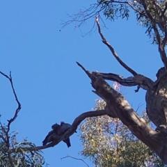 Callocephalon fimbriatum (Gang-gang Cockatoo) at Mount Ainslie - 23 Apr 2021 by Kym