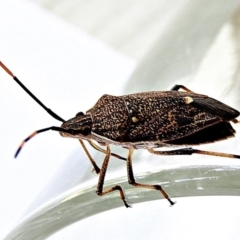 Poecilometis sp. (genus) (A Poecilometis shield bug) at Crooked Corner, NSW - 25 Apr 2021 by Milly