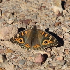 Junonia villida (Meadow Argus) at Holt, ACT - 24 Apr 2021 by Tammy