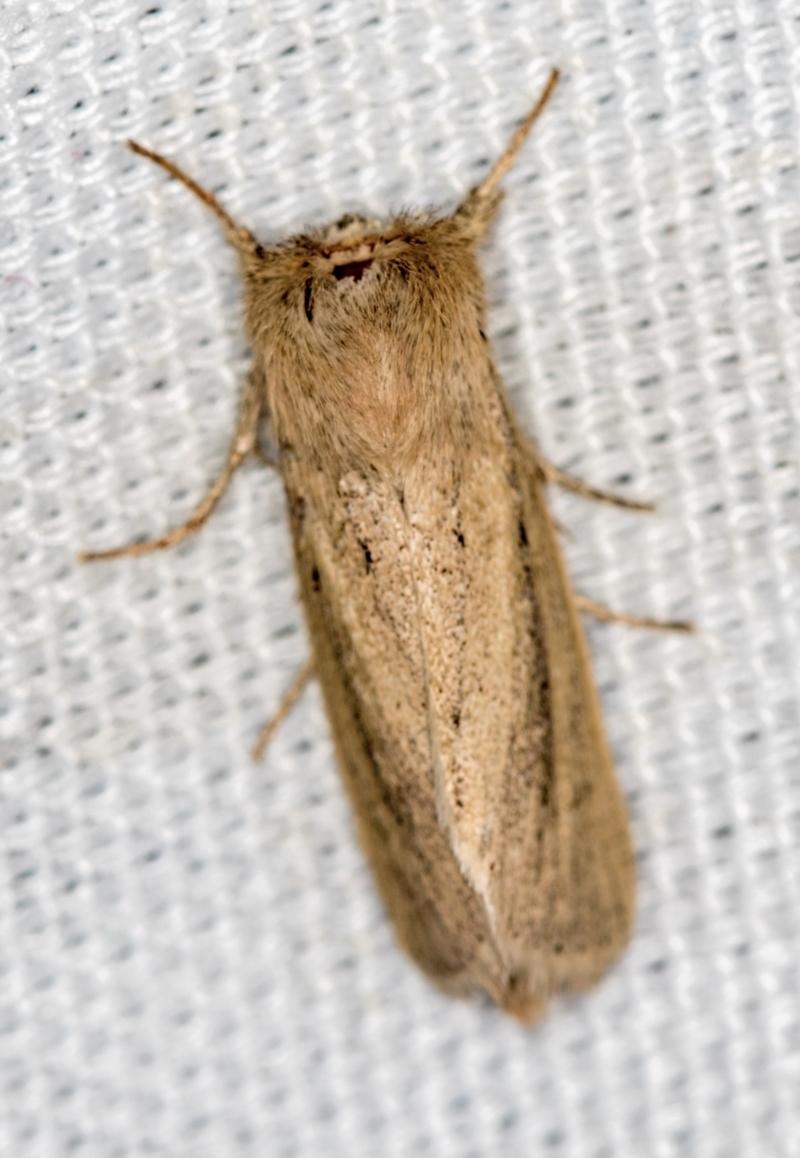 Leucania (genus) at Melba, ACT - 13 Jan 2021