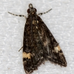 Heliothela ophideresana (A Crambid Moth (Scopariinae)) at Melba, ACT - 11 Jan 2021 by Bron