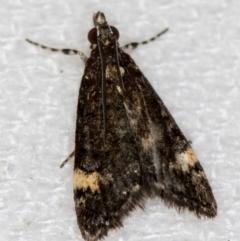 Heliothela ophideresana (A Crambid Moth (Scopariinae)) at Melba, ACT - 11 Jan 2021 by Bron
