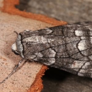 Stibaroma undescribed species at Melba, ACT - 24 Apr 2021