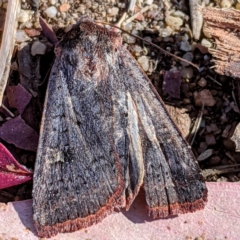 Diarsia intermixta (Chevron Cutworm) at Kambah, ACT - 26 Apr 2021 by HelenCross