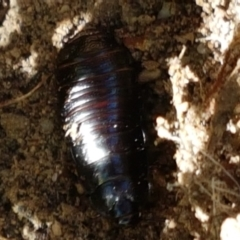 Panesthia australis (Common wood cockroach) at Tidbinbilla Nature Reserve - 26 Apr 2021 by tpreston