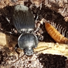 Cardiothorax monarensis (Darkling beetle) at Tharwa, ACT - 26 Apr 2021 by tpreston