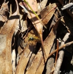 Vespula germanica (European wasp) at Tidbinbilla Nature Reserve - 26 Apr 2021 by tpreston