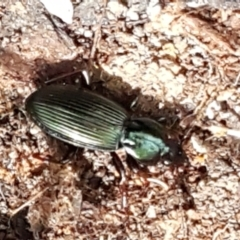 Notonomus (genus) (Carab beetle) at Tidbinbilla Nature Reserve - 26 Apr 2021 by tpreston
