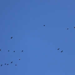 Corvus mellori (Little Raven) at Callum Brae - 26 Apr 2021 by RodDeb