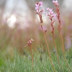 Stylidium montanum (Alpine triggerplant) at Kosciuszko National Park - 1 Jan 2021 by Liam.m