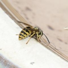 Vespula germanica (European wasp) at Higgins, ACT - 18 Feb 2021 by AlisonMilton
