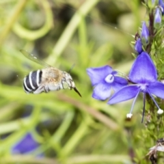 Amegilla sp. (genus) (Blue Banded Bee) at Higgins, ACT - 18 Feb 2021 by AlisonMilton