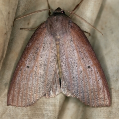 Paralaea porphyrinaria (Chestnut-veined Crest-moth) at Deua National Park (CNM area) - 16 Apr 2021 by ibaird