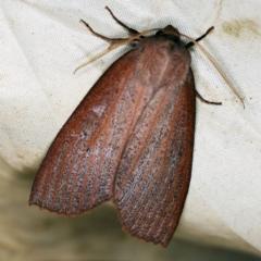 Paralaea porphyrinaria at Deua National Park (CNM area) - 16 Apr 2021
