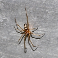 Unidentified Other hunting spider (TBC) at Higgins, ACT - 25 Apr 2021 by AlisonMilton