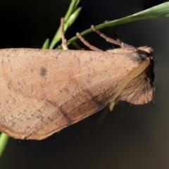 Fisera perplexata (Light-tan Crest-moth) at Higgins, ACT - 25 Apr 2021 by AlisonMilton