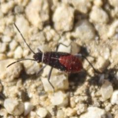 Leptocoris mitellatus (Leptocoris bug) at Gundaroo, NSW - 18 Apr 2021 by AlisonMilton