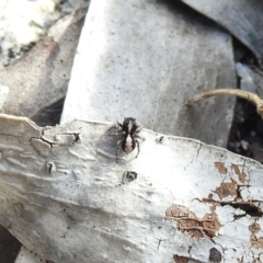 Euophryinae sp. (Mr Stripey) undescribed (TBC) at Namadgi National Park - 14 Apr 2021 by Liam.m