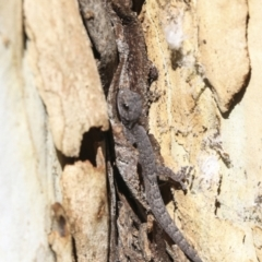 Christinus marmoratus (Southern Marbled Gecko) at Cook, ACT - 29 Mar 2021 by AlisonMilton