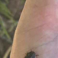 Unidentified Shield, Stink & Jewel Bug (Pentatomoidea) (TBC) at Mount Ainslie - 7 Apr 2021 by Tapirlord